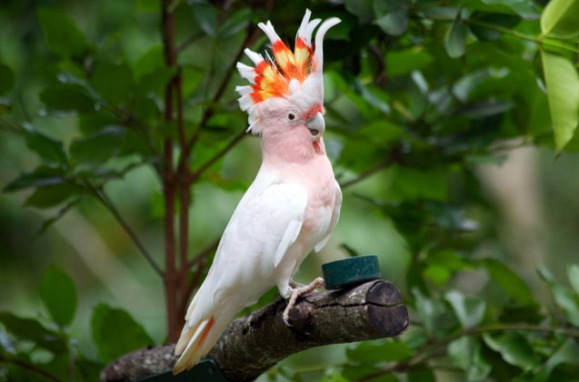 major-mitchells-cockatoo.jpg
